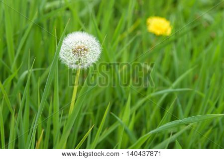 Closeup of dandelion in full seed, with dandelion flower in background