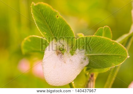 Macro of a spittlebug surrounded in spittle on a green leaf.