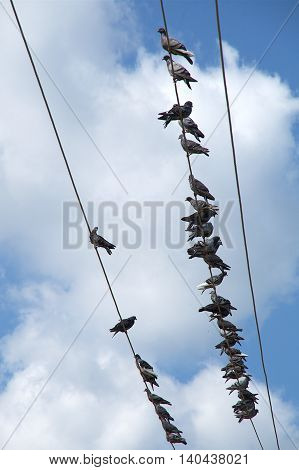 Many pigeons sitting on the power lines.