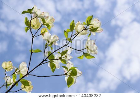 Dogwood branch, in bloom, backlit against a blue sky with white puffy clouds
