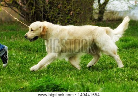 family dog Golden Retriever runs trot a man on a leash is training in the summer
