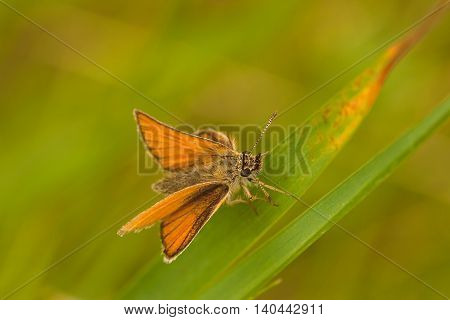 Macro of a skipper butterfly sitting on a blade of grass.