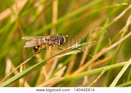 Macro of a hoverfly resting on a piece of grass.