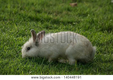 Brown rabbit enjoy to eat the grass on the morning