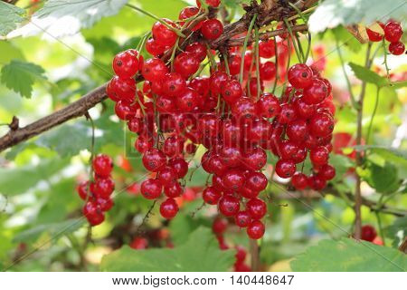 Red Currant, Currant, or common or garden currant (Ribes rubrum) - deciduous shrub with red edible berries