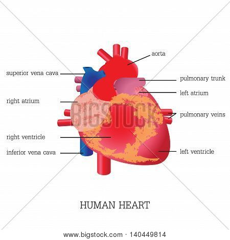 Structure and function of Human heart systemHuman heart system anatomy isolated on white background Human heart anatomy education vector illustration.