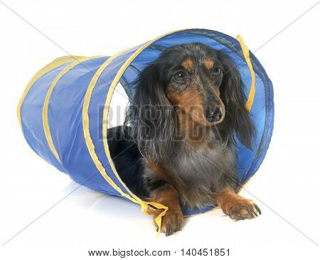 long hair dachshund in agility in front of white background