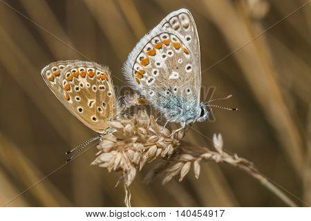 Common Blue(polyommatus Icarus)