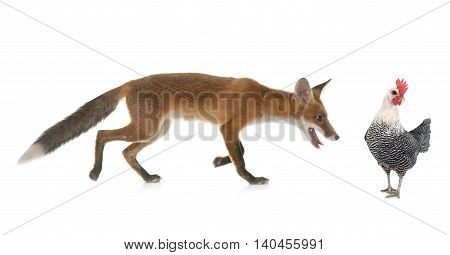 red fox and chicken in front of white background