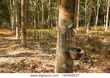 latex rubber natural plantations on natural background