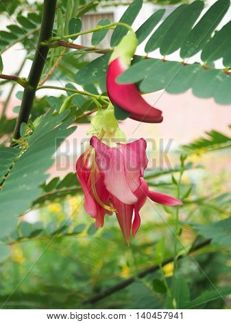 Humming Bird Sesban Agast. Sesbania grandiflora desv). Vegetable
