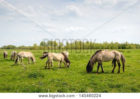 Group of Konik horses with mares and a stallion grazing in a Dutch nature reserve. It is springtime now.