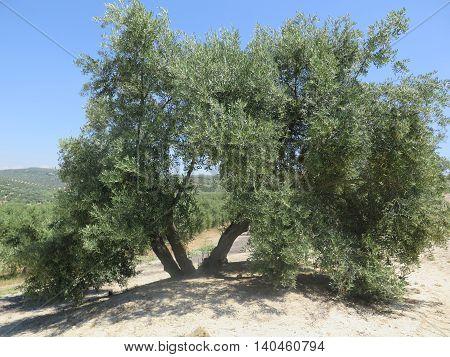 Three Stemmed Olive Tree