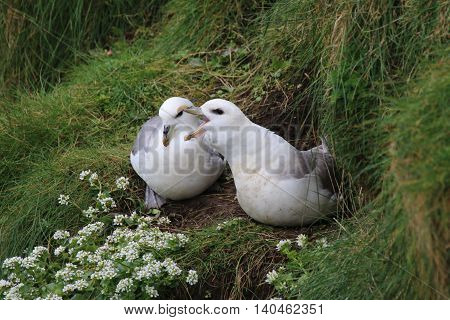 This is a pair of Fulmars (Fulmarus glacialis). One of the sea birds has it's beak open as it is calling. They are on a grassy clifftop with some wild flowers, on the North Coast of Scotland. This picture was taken in the month of May.