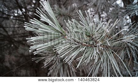 The branch of a pine with long needles covered in snow on a cold , frosty winter day