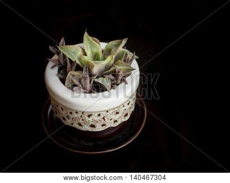 Dry tropical succulent plant in pot selective focus