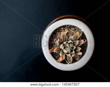 topview of dry tropical succulent plant in pot selective focus
