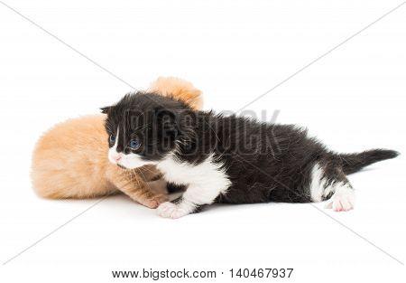 baby animal little kittens on white background