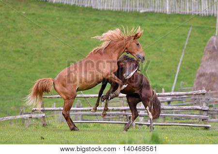 Beautiful horses on mountain pasture in summer