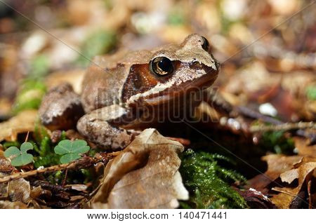 Gray- brown forest frog sits on a green moss and dry leaves