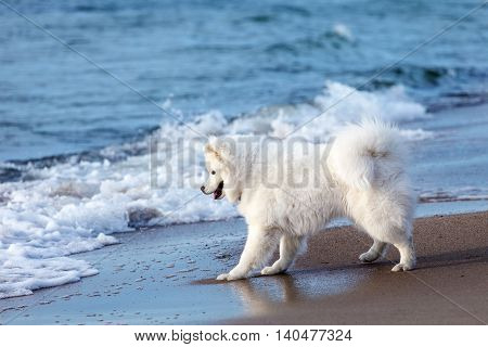 white dog Samoyed playing by the sea