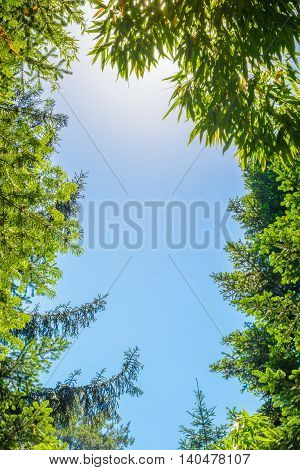 The tops of the trees on the background of clear sky and sun beams in the park