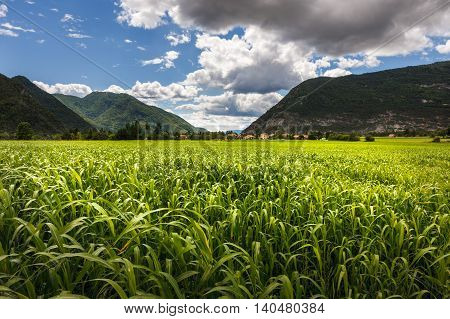 Cornfield in summer near Montmaur, Devoluy region, Hautes Alpes, Southern French Alps, France