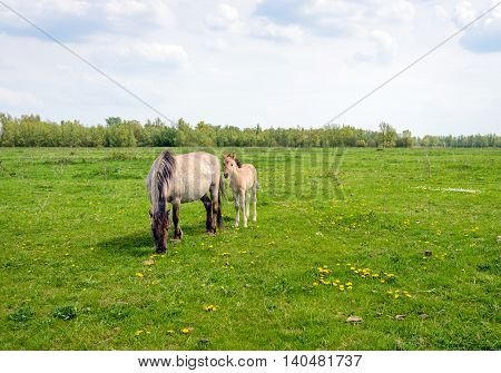 The Konik mare grazes quietly while her foal looks curiously at the photographer. It is a beautiful spring day in a Dutch nature reserve.