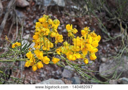 Yellow Wildflowers In Desert