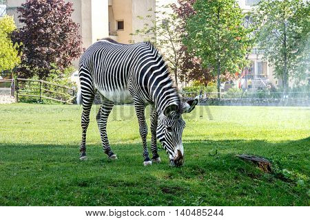 Zebra walking on the spacious paddock in the Zoo and eating fresh green grass growing in this paddock