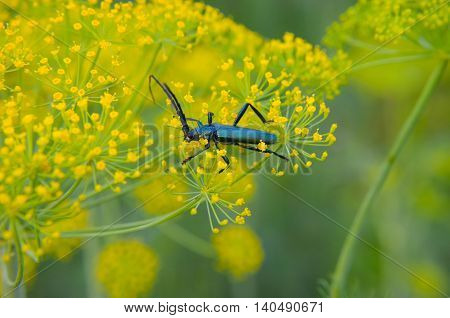 Black Beetle Sitting On A Flower Dill