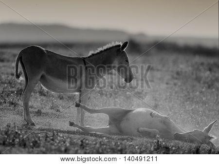 Donkey Bathing In Dust