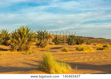 palm in the desert oasis morocco sahara africa