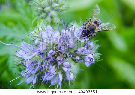 Close-up Of Phacelia Flower  Tanacetifolia And Humble Bee Collects Nectar