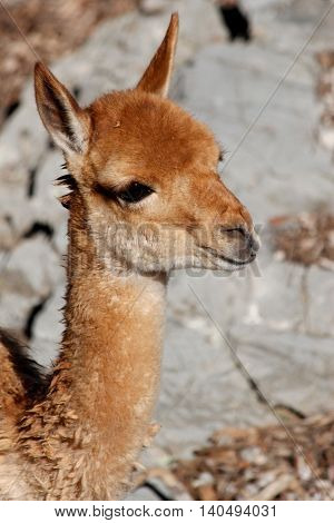 a portrait of a young brown lama