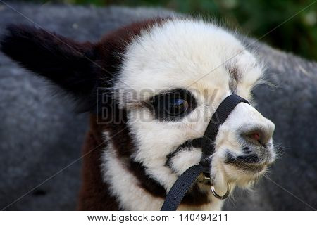 a portrait of a young brown white lama
