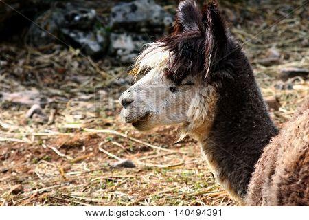 a portrait of a gray brown Llama