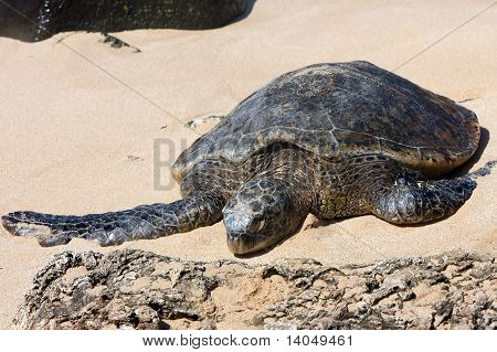Hawaiian green sea turtle on sand