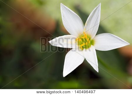 wild pink orchid Zephyranthes Lily Rain Lily Fairy Lily Little Witches