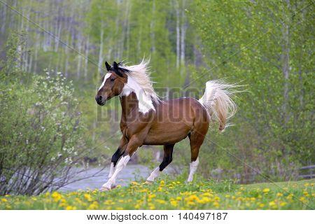 Pinto Arabian Gelding running in spring meadow