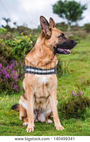 german shepherd dog sitting in fields posing for photo