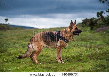 german shepherd dog pose full body outdoor