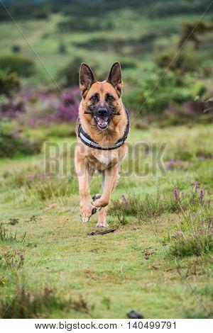 german shepherd dog running fast towards camera