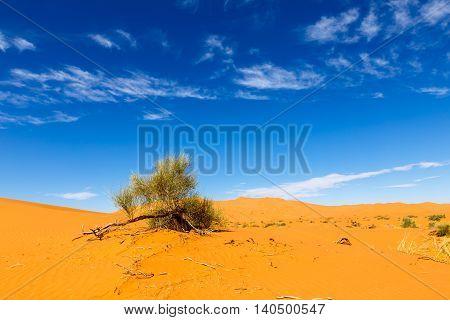 on the background of blue sky green shrub in the Sahara desert