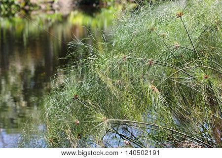 A cluster of Cyperus papyrus called also Papyrus sedge, Paper reed, Indian matting plant or Nile grass, in South Florida