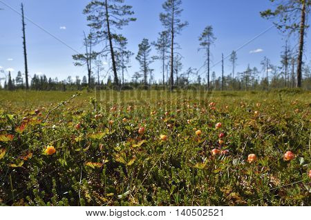 Morass with lot of cloudberrys and blue sky in background picture from the North of Sweden.