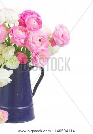 Pink and white ranunculus fresh flowers in blue pot close up isolated on white background