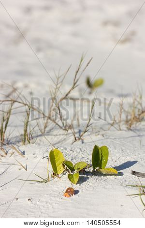Close-up of Railroad vine (Ipomoea pes-caprae) and grasses growing on a beach of Florida