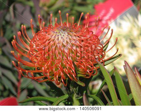 Protea, From Kirstenbosch Botanical Gardens, Cape Town South Africa 76
