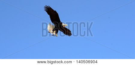Bald Eagle flying under a blue sky